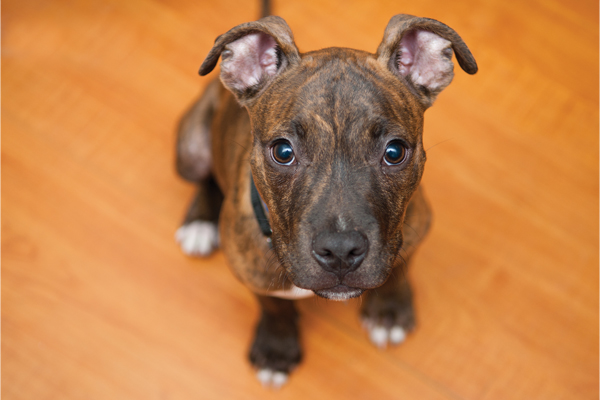 Profiling Bully Breeds | PAWS in the Media | PAWS Chicago